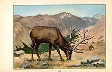 """1926 Vintage ANIMALS """"ELK"""" GORGEOUS COLOR Art Print Plate Lithograph"""