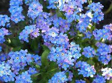 Forget-Me-Not (Myosotis Alpestris)  Blue 200 seeds