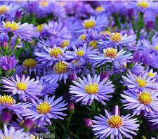 300 Aster Alpinus Seeds Stawsort Alpine Dwarf Ground Cover Flower Perennial New