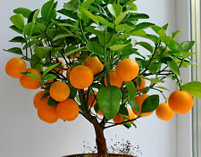 Bonsai seeds Orange Tree Seeds