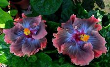 200pcs Hibiscus seeds Dark King Hibiscus tree seeds for flower potted plants