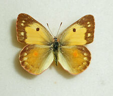 COLIAS ERATE AMDENSIS x COLIAS FIELDI HYBRID female from CHINA