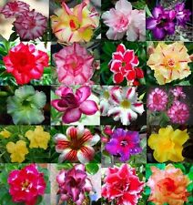 20 Pcs Desert Rose Seeds ADENIUM OBESUM Perennial Flowers (MIXED COLOURFUL)