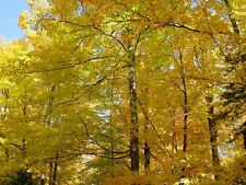 """25 SUGAR MAPLE TREE 6"""" - 10"""" SEEDLINGS WILL SHIP BARE ROOTED!"""