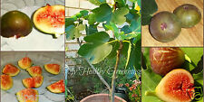 "30 Seeds Productive Brown Turkey Fig ""Ficus Carica"" Self-Fertile – Very Hardy"