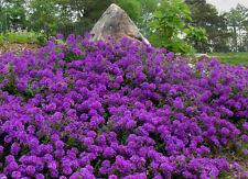 """75+ PERENNIAL GROUNDCOVER + FLOWER  SEEDS - MOSS VERBENA - """"VIOLET"""""""
