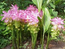Curcuma Elata Hidden Lily Flower striking Fuschia Ginger plant 10 live rhizome