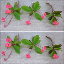"5-6""  Euphorbia Milii (Crown of Thorns) Succulents / 6 Organic Plant Cuttings"
