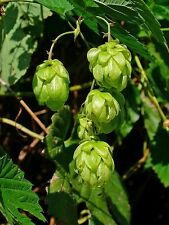 25 COMMON HOPS European Humulus Lupulus Vine Seeds Beer Making Ingredient