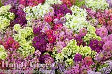 Alyssum - 1600 seeds - PALETTA MIX - Lobularia Maritima - flower