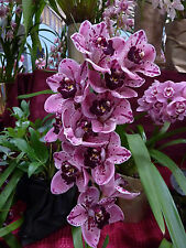 CYMBIDIUM ORCHID  ROCKY CREEK 'GOTCHA' FLASK 10 PLANTS