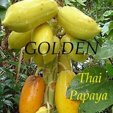 ~GOLDEN PAPAYA~ Dwarf Short THAI Tree YUMMY YELLOW FRUITS Fresh Rare 50 Seeds