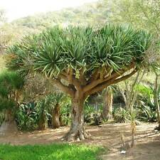 DRACAENA draco Dragon Tree Seeds (ES 20)
