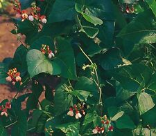 Vegetable - Kings Seeds Pictorial Packet - Runner Bean - Painted Lady