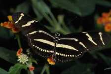 432032 Zebra Butterfly Heliconius Charitonius A4 Photo Print