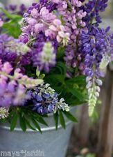 40 Graines Lupin Fleurs 'Camaïeu Rose' Jardin & Bouquet (Lupinus) Samen Seeds