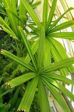 Licuala spinosa - Mangrove Fan Palm - 20 Fresh Seeds