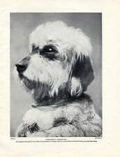 DANDIE DINMONT TERRIER HEAD STUDY NAMED DOG OLD ORIGINAL PRINT PAGE FROM 1934