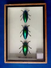 GREEN JEWEL BEETLES STERNOCERA AEGUISIGNATA TAXIDERMY BEETLE INSECT ENTOMOLOGY