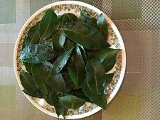 Bay Leaves Organic: 45 pc's Ship Green Fresh Picked from the Plant. USA grown.