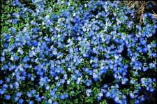 100 Speedwell Seeds - Creeping, (Veronica Repens) spectacular ground clover .