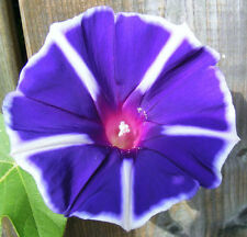Morning Glory Seeds - CANADA COUNTRY BLUE ~ Ipomoea Vine~ VERY RARE ~ 10 Seeds