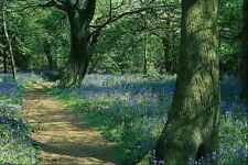 680097 Bluebells And Trees Crackley Wood Warwickshire A4 Photo Print