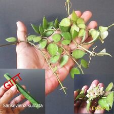 "10 Cuttings Hoya Lacunosa ""Snow Caps"" From Java Plant Tropical + FREE GIFT"