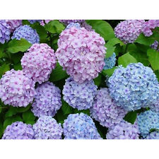 100PCS Miced Color Hydrangea Seeds Ideal Garden Potted Flower Plant Rare Seeds