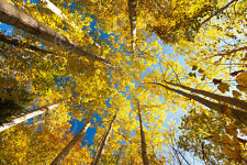 PHOTO ART PRINT Aspens on the Canon Brook Trail Michael Hudson 36x24 Tree Poster