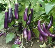 """Purple Brinjal Eggplant - Hybrid F1 """" PUSA PURPLE """" Vegetable Seed- 50 Seeds"""