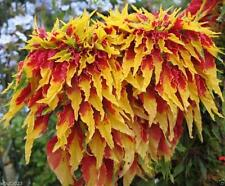 Amaranthus Perfecta Seeds (500 Seeds) Tall Yellow And Red Bright Foliage Plant !