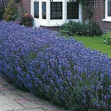 Lavender- Munstead- 50 Seeds-     50 % off sale
