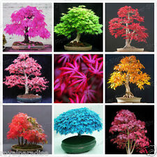 12 Seeds Mixed American Maple Bonsai Seeds Mixed Varieties Indoor Bonsai Seeds
