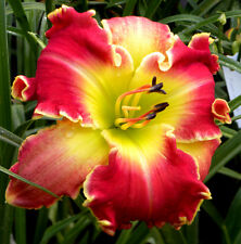 LOT OF 10 Mixed Daylily Fans ~ Daylilies, Bulbs, Hybrids. Mixed colors,Great Buy