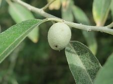 RUSSIAN OLIVE(EDIBLE) ELAEAGNUS ANGUSTIFOLIA - AN OLIVE GROVE.500 SEEDS