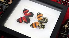 real butterfly collection for sale framed taxidermy Callicore cynorura
