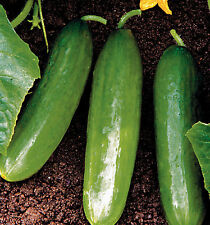 25 CUCUMBER, DIVA SEEDS, Vegetable + FREE GIFT & COMB S/H
