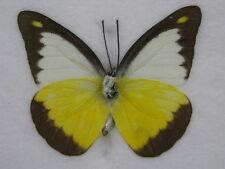 Chocolate Albatross - echter Schmetterling im Schaukasten aus Holz im Bilderrahm