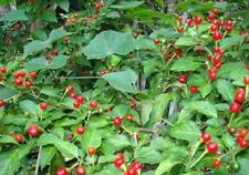 Heirloom Chile CHILTEPIN CHILI PEPPER✿50 SEEDS✿Extremely HOT✿FLAT COMBINE S/H***