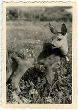 PHOTO ANCIENNE - ANIMAL FAON CLOCHE BICHE - FAWN BELL FUNNY - Vintage Snapshot