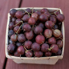 Pixwell Gooseberry, (Ribes Pixwell) well rooted plant 5-8 inches