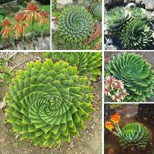 5 Seeds Spiral Aloe Polyphylla Exotic Home Garden Rare Plant Fresh Patio  Decor