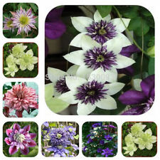 200 Pcs / Pack Clematis Hybridas, Clematis Seed,clematis Flowers - Mix Color