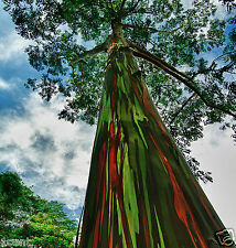 500 seeds of Rainbow Eucalyptus tree Deglupta Mindanao Gum