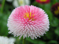 Bonsai seed - MIXED ENGLISH DAISY Flower Seeds