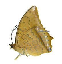 Unmounted Butterfly/Nymphalidae - Charaxes aristogiton, male, China