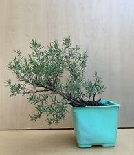 Nice Rosemary Flowering Pre Bonsai Tree Thick Trunk Raft  Shohin
