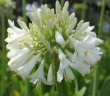 New Agapanthus Blittza pure white flowers excellent garden plant