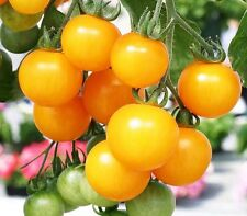 Tomato Seeds 30 Seeds Yellow Small Cherry Lycopersicon Esculentum Seeds B039 Hot